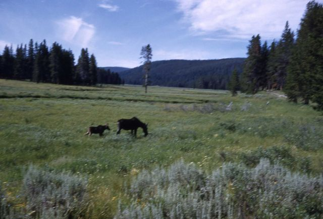 Cow moose & calf grazing in meadow Picture