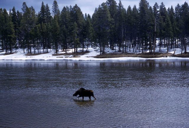 Bull moose wading in the Yellowstone River Picture