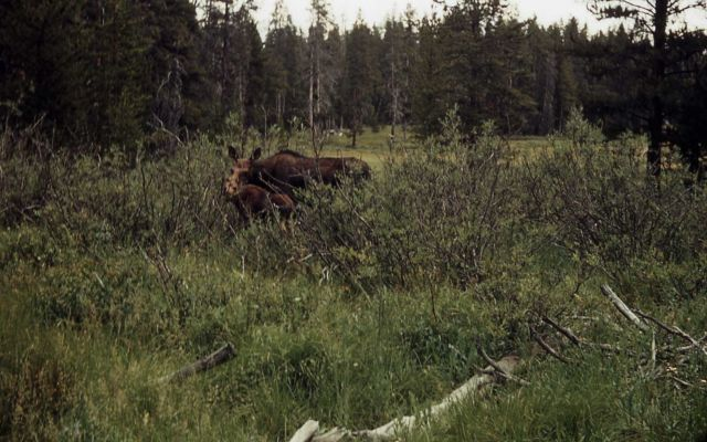 Cow moose & calf in thick brush Picture