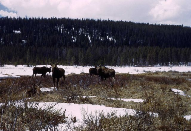 Four moose at Willow Park Picture