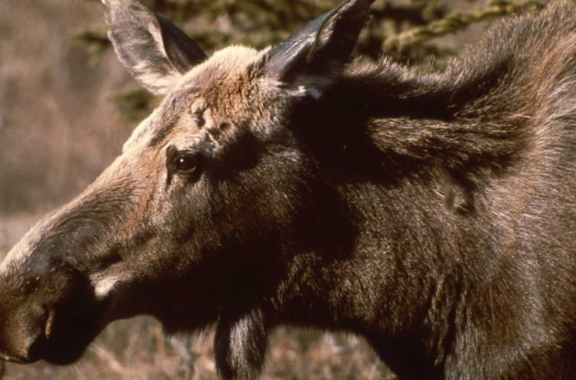 Head view of cow moose Picture