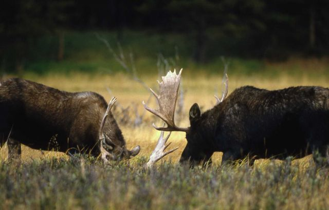 Two bull moose sparring Picture