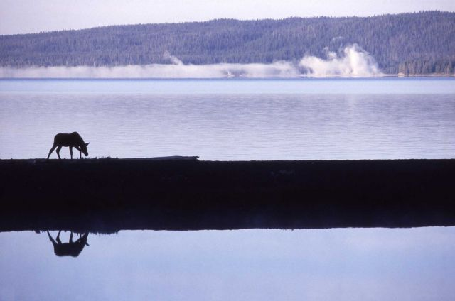 Silhouette & reflection of a cow moose Picture