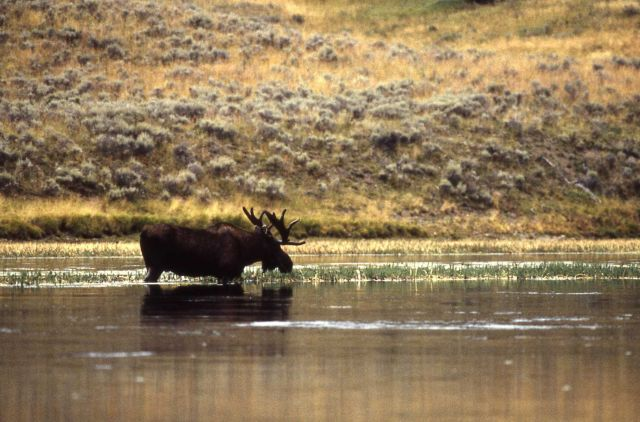 Bull moose in water Picture