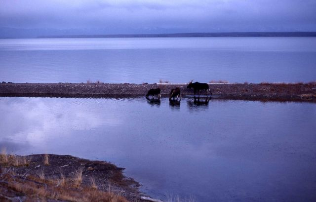 Bull moose & two cows feeding in Yellowstone Lake Picture