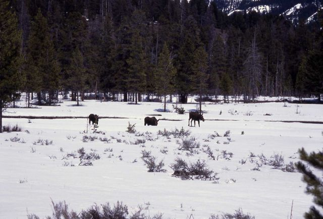 Three moose in snow at Round Prairie (meadow at Soda Butte & Pebble Creek) Picture
