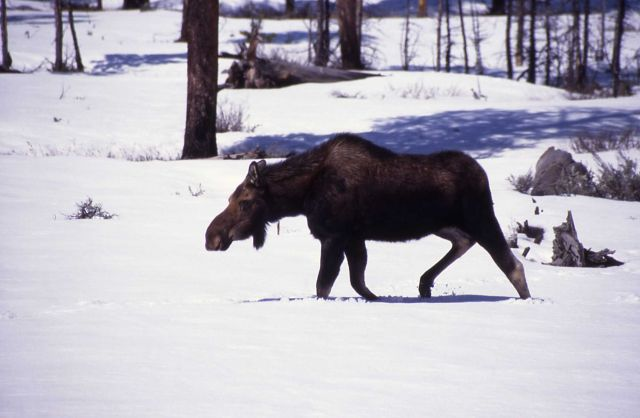 Bull moose in snow with dropped antlers at Pebble Creek Picture