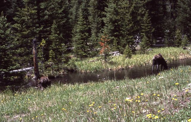 Two cow moose, location unknown Picture
