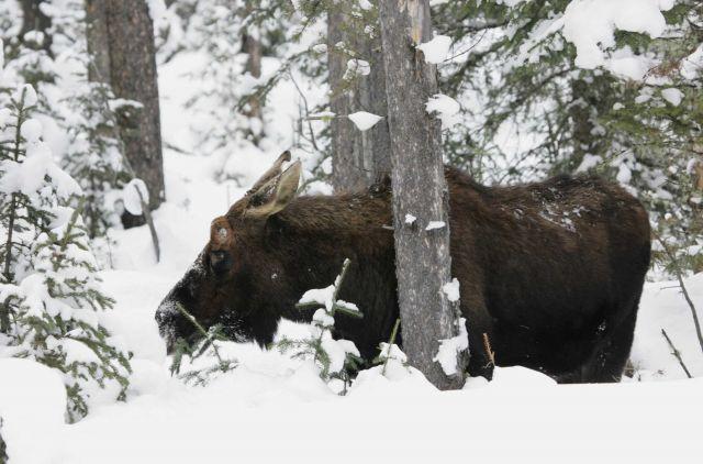 Bull moose near upper Soda Butte Creek Picture
