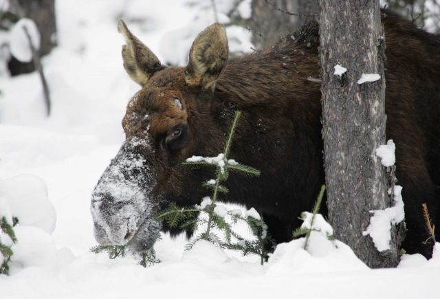 Bull moose browsing on subalpine fir near Soda Butte Creek Picture
