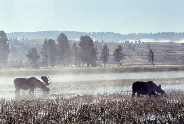 Moose in Hayden Valley Picture