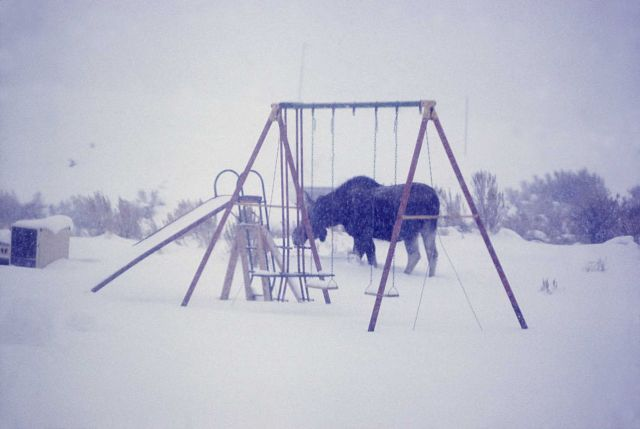 Moose in snow in Mammoth Hot Springs residence area Picture