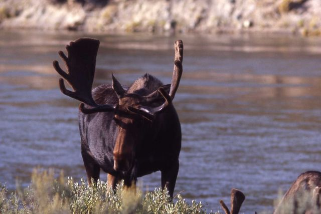 Moose at Yellowstone River Picture
