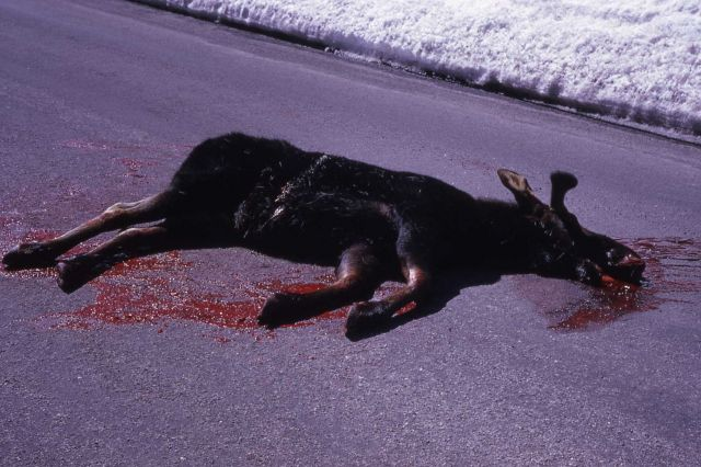 Moose shot by rangers near Norris Geyser Basin Picture