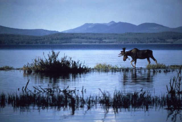 Moose in water off of Steveson Island Picture