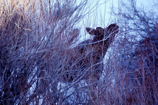 Moose Picture
