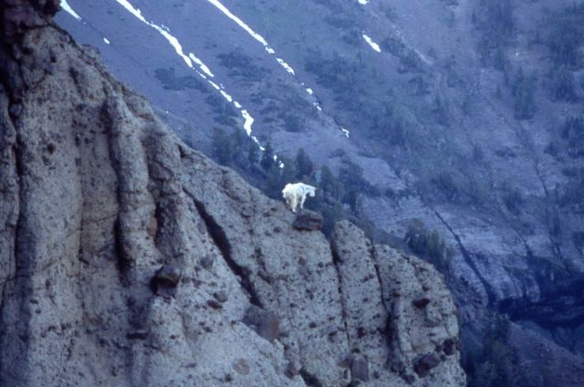 Mountain goat in the northeast section of Yellowstone National Park Picture