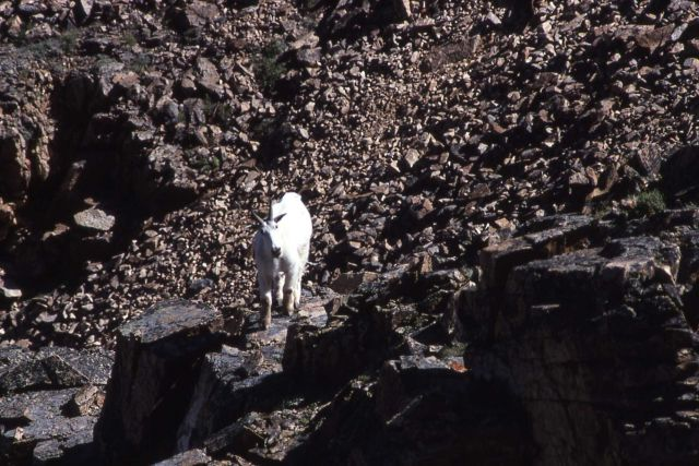 Mountain goat in the Bearthooths Picture