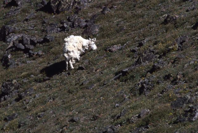 Mountain goat losing winter coat in the Beartooths Picture