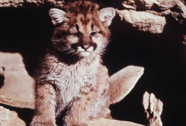 Mountain lion cub Picture