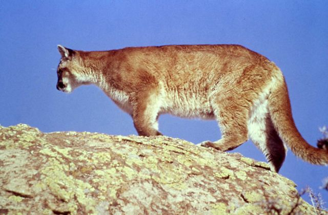 Mountain lion Picture