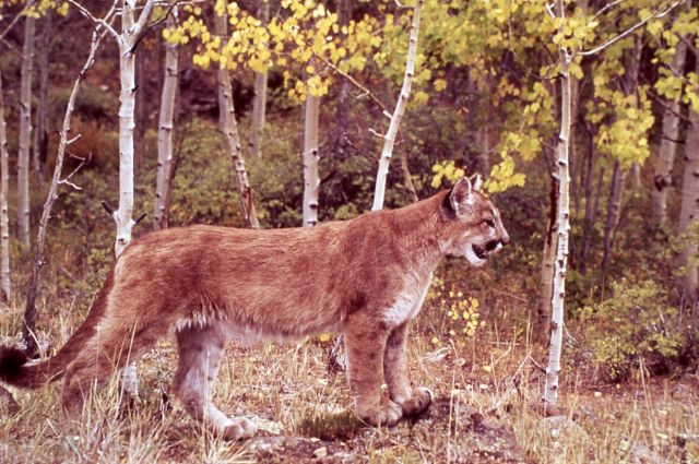 Mountain lion in yellow aspens Picture
