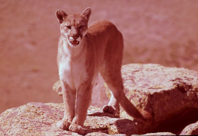 Mountain lion on rocks Picture