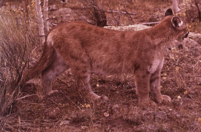 Young mountain lion Picture