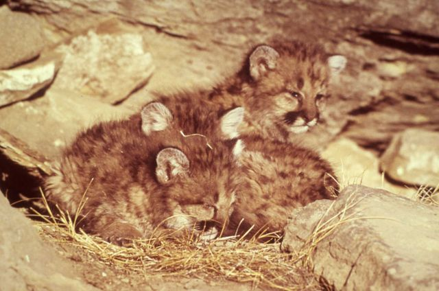Young mountain lion kittens Picture