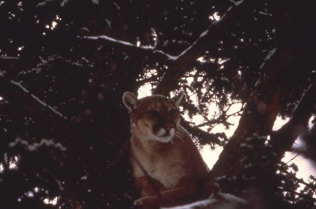Mountain lion in tree Picture