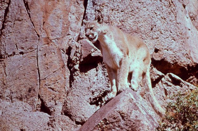 Mountain lion sitting on rocks Picture