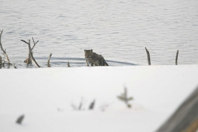 Mountain lion kitten climbing out of the Madison River Picture