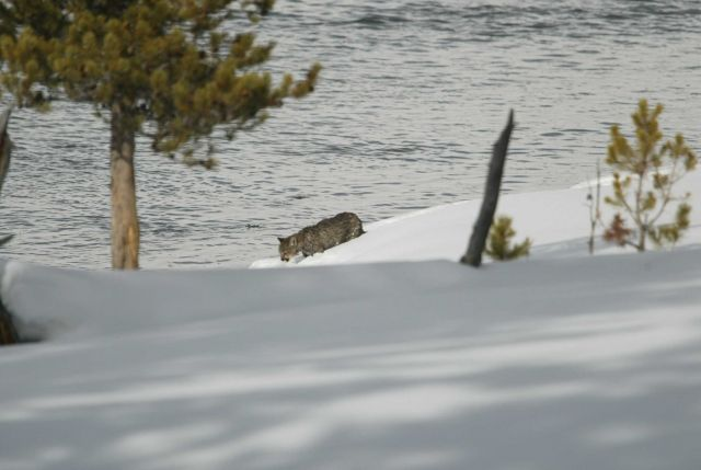 Mountain lion kitten walking along the Madison River Picture