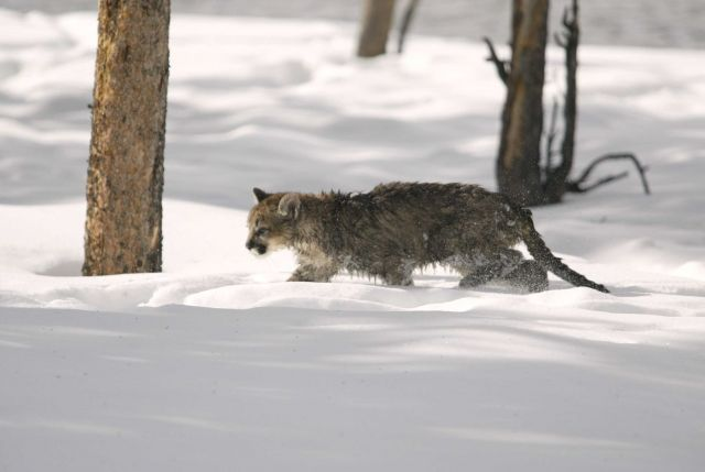 Mountain lion kitten walking through the snow Picture
