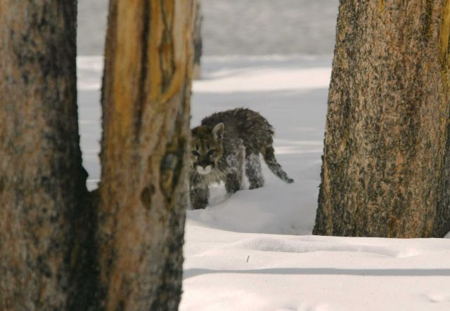 Mountain lion kitten behind tree - about 3 1/2 month old according to Kerry Murphy, Yellowstone National Park wildlife biologist Picture