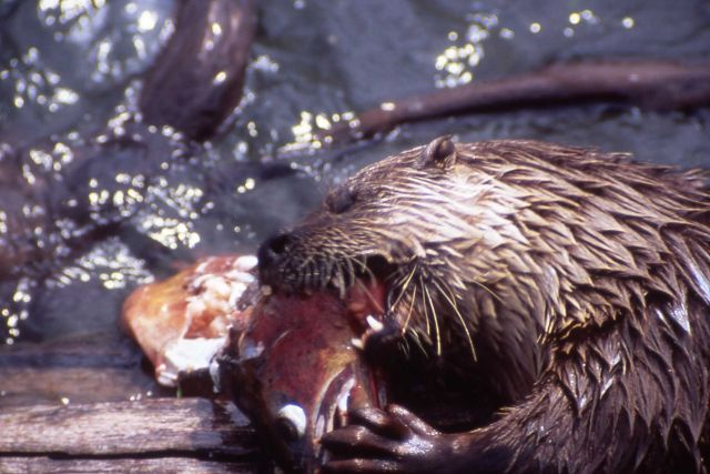 Otter eating big fish at Trout Lake Picture