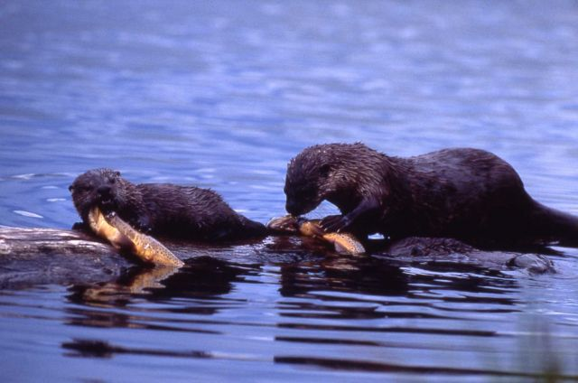 Otter & pup eating fish at Trout Lake Picture