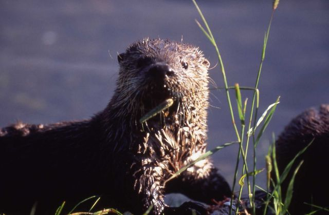 Otter on bank at Trout Lake Picture
