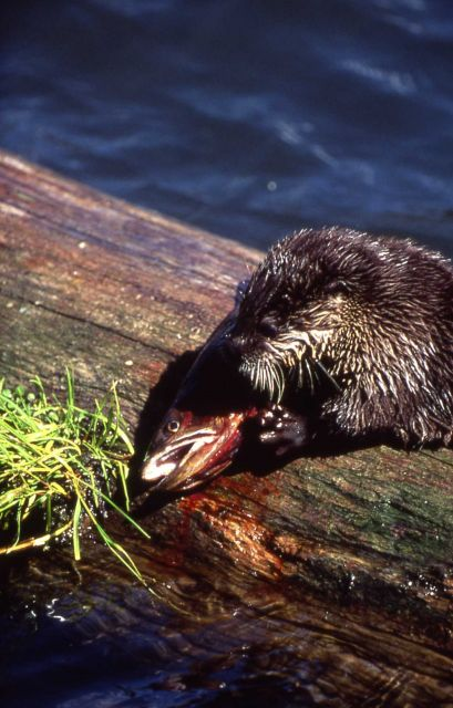 Otter eating fish at Trout Lake Picture