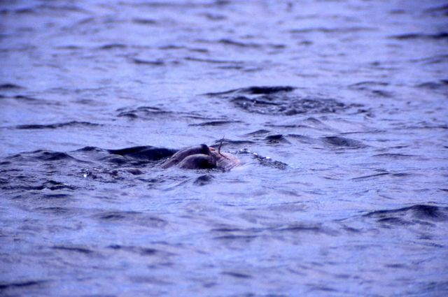 Otters with fish in water at Trout Lake Picture