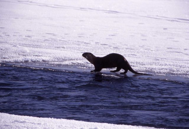 River otter in the Lamar River in the winter Picture