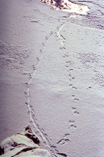 River otter tracks at the confluence of Soda Butte & Lamar River Picture