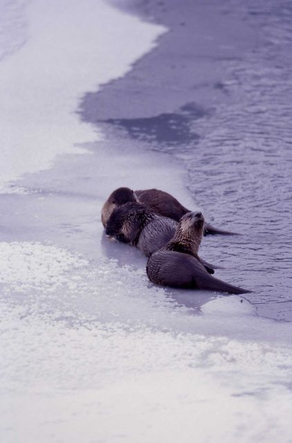 Otters on ice ledge at Lamar River Picture