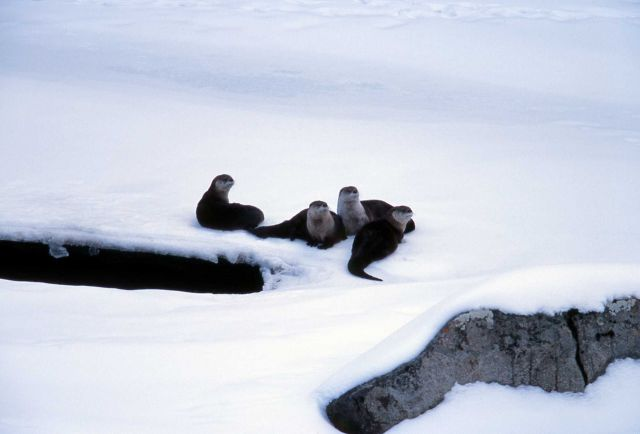 Four riverotter on Lamar River ice - Lamar Canyon Picture