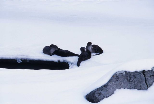 Four river otter grooming on Lamar River ice-Lamar Canyon Picture