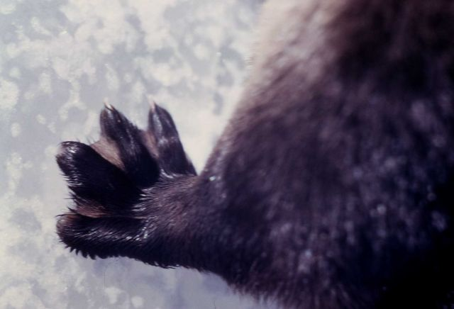 Front paw of an otter Picture