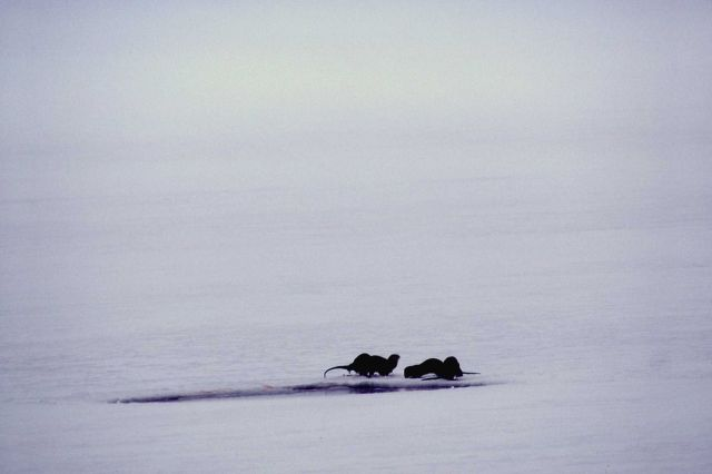 Three otters on ice Picture