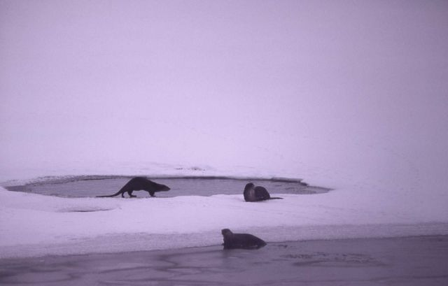 Three otters on ice at West Thumb Picture