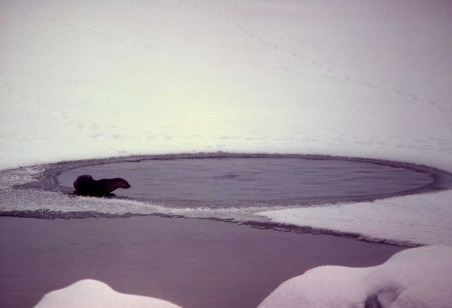 Otter on ice at West Thumb Picture