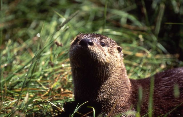 Otter at Trout Lake Picture